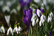 Wild Spring Flowers Crocuses A...