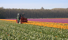Cutting The Tops Of Tulips At ...