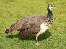Beautiful Female Peacock