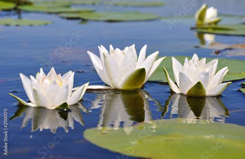 Poster de jardin Nénuphars Three lilies
