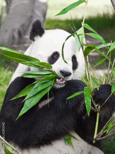 Fényképezés  Giant panda