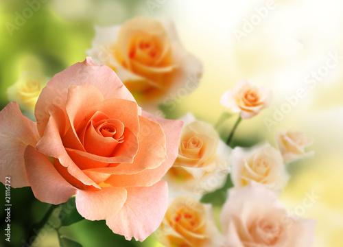 Montage in der Fensternische Roses blossom pink roses background