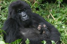 2 Berggorilla (Mutter Und Sohn, 3 Tage Alt)
