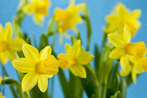Papiers peints Narcisse daffodil on blue background
