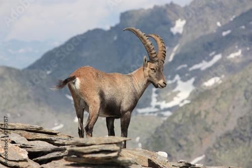 Fotografia  Steinbock, Capra ibex