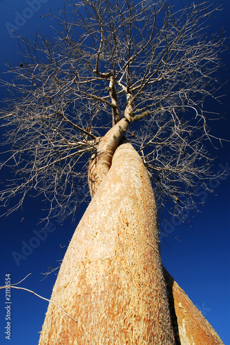 Cuadros en Lienzo Verliebte Baobabs - Madagaskar