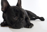 Fototapeta Dogs - bulldogge