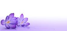 Fleurs De Crocus - Décoration...