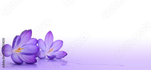 fleurs de crocus - décoration élément fleur de printemps Fototapeta