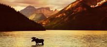 Elch In Einem Bergsee Bei Sonn...