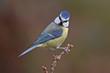 Blue tit, Parus caeruleus.
