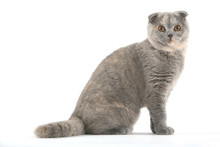 Jeune Scottish Fold Hagard De ...