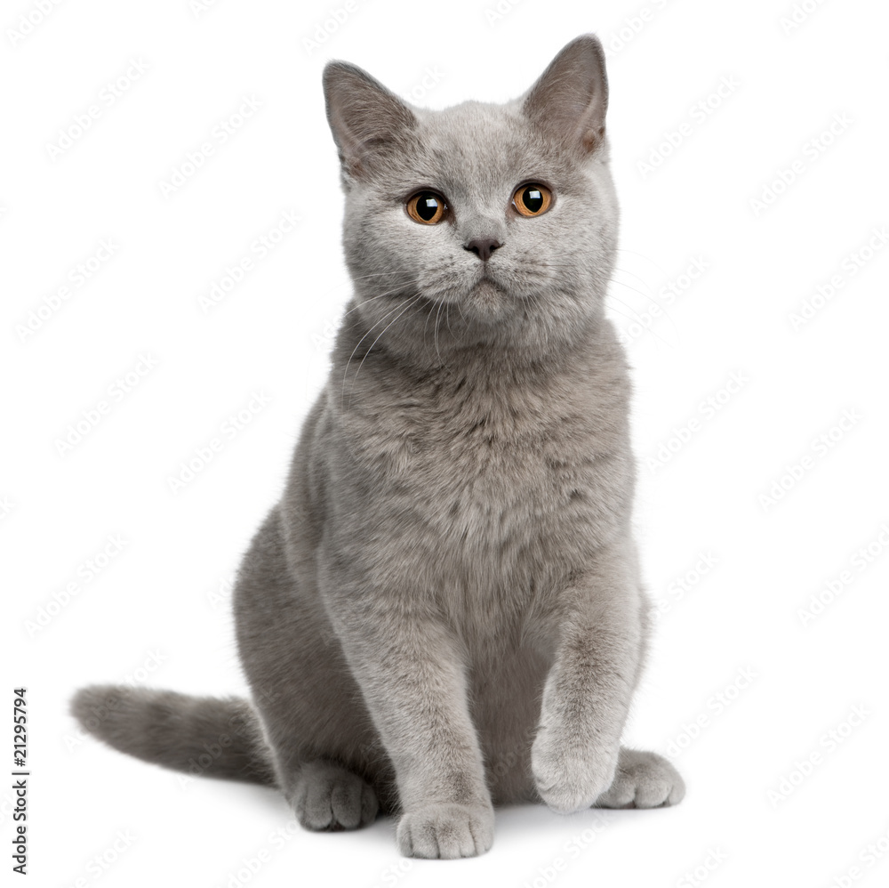 Fotografie Obraz Front view of British shorthair cat sitting