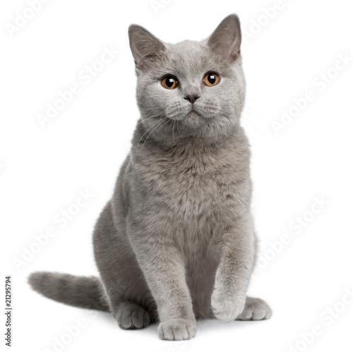 Fotografía  Front view of British shorthair cat, sitting