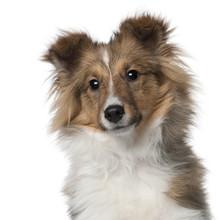 Shetland Sheepdog Puppy, In Fr...