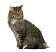 Side View Of Maine Coon, Sitting And Looking Away