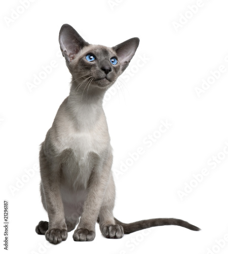 Fotografía  Front view of Siamese kitten, sitting against white background
