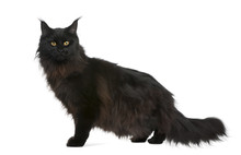 Side View Of Maine Coon, 21 Months Old, Standing