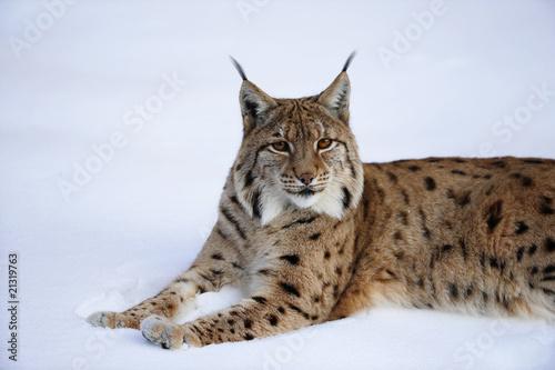Poster Lynx Luchs im Schnee