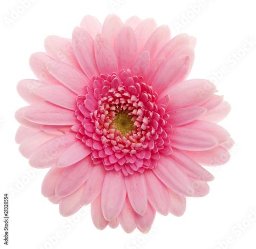 Fotobehang Gerbera Gerbera rosa