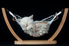 Kitten Sleeping In Hammock