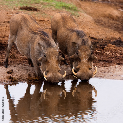 Photo  Warthogs drinking in Addo national park, South Africa