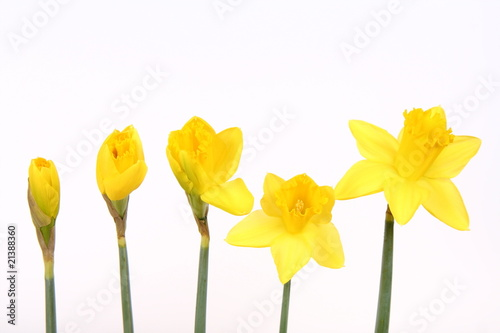 Deurstickers Narcis Daffodils in different stages of blooming on white background