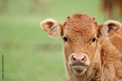 Poster de jardin Vache portrait de veau