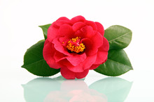 A Red Flower - Camellia With R...