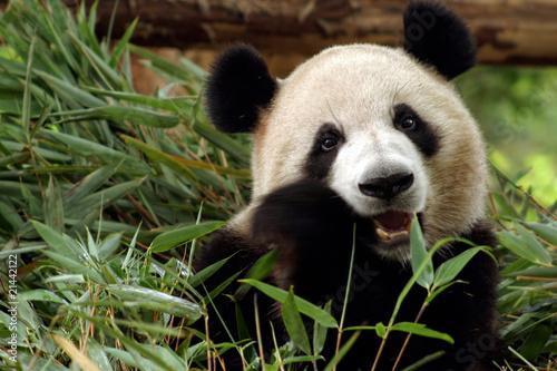 Fotobehang Panda Panda frisst Bambus