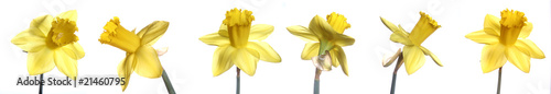 Deurstickers Narcis Different shots of daffodils on white background