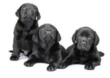 Three Black Labrador Puppies, ...