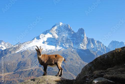 Fotografiet chamois dans le massif du Mont Blanc