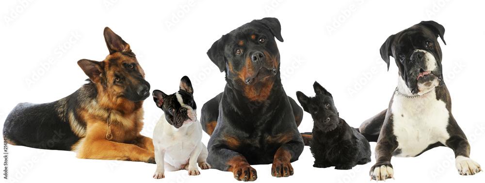 Fototapeta cinq chiens différents de face dans la même position