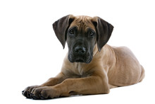 Great Dane Puppy Dog