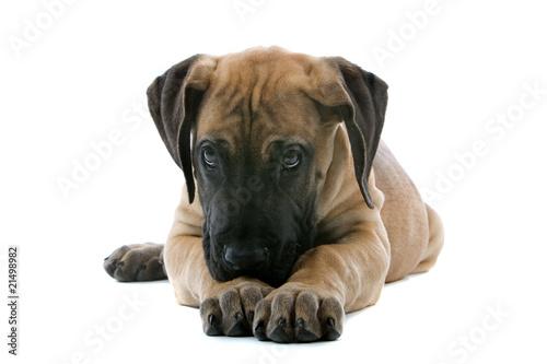 Fototapeta puppy of a great dane lying on the floor obraz