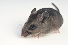 Deer Mouse At A 45 Degree Angle On White Background