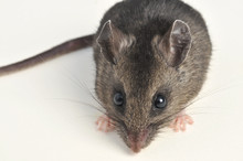 Deer Mouse Close High Angle On White Background