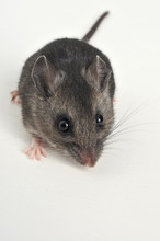 Full Body View Of A Deer Mouse