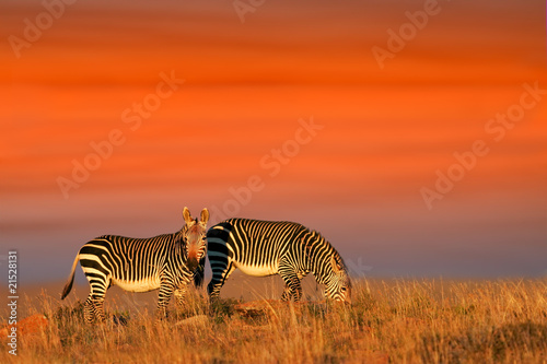 Poster Corail Cape Mountain Zebras against a late afternoon sky