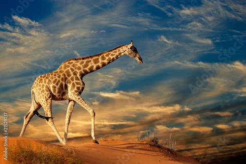 Printed kitchen splashbacks Giraffe Giraffe on sand dune