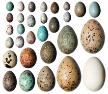 Collection Of The Bird's Eggs.
