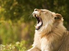 Lion Showing Teeth