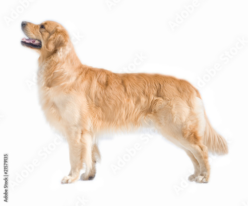 Canvas Print Golden retriever isolated on white background
