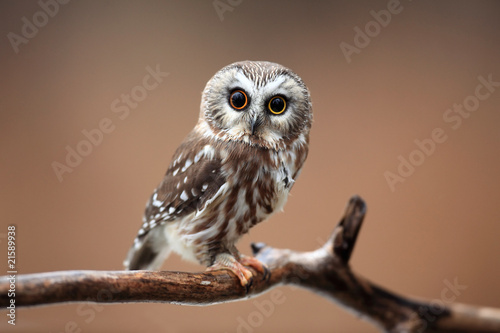 Curious Saw-Whet Owl against blurred background.