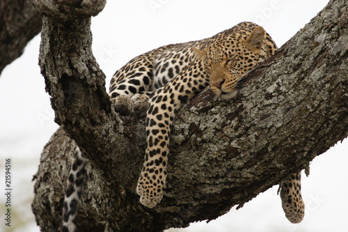 Poster Leopard Leopard in the tree in Serengeti National Park
