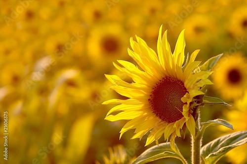 In de dag Zonnebloem Sunflower in the field backlit by the light of the setting sun