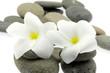 fleurs blanches frangipanier sur galets, fond blanc