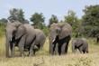 Small family of Elephant