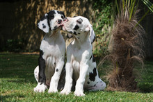 Deux Jeunes Dogues Allemand Se...